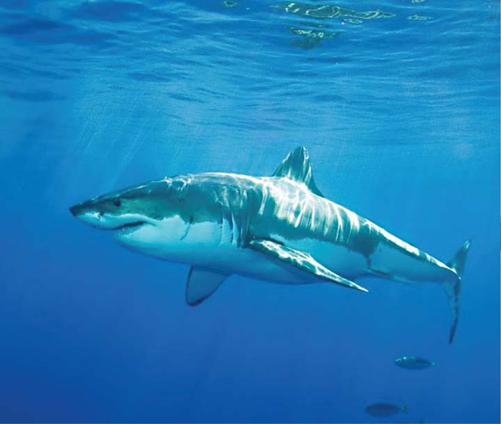 Sharks: feared predator in need of protection