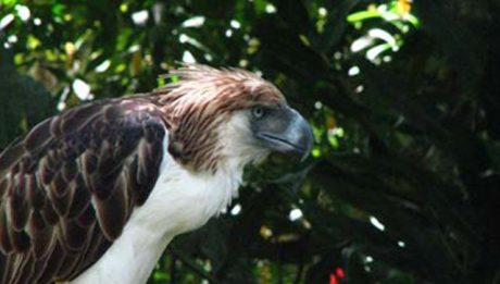 Philippine Eagle pair to fly to Singapore for conservation