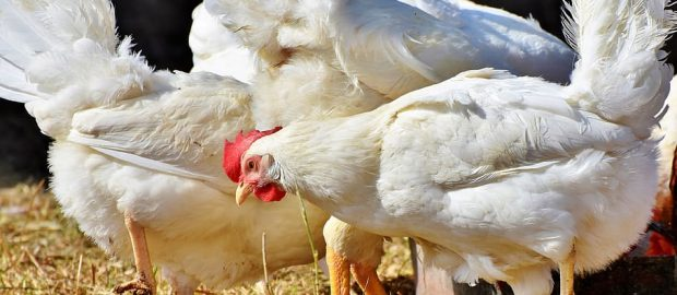 bird flu virus spotted in Pampanga