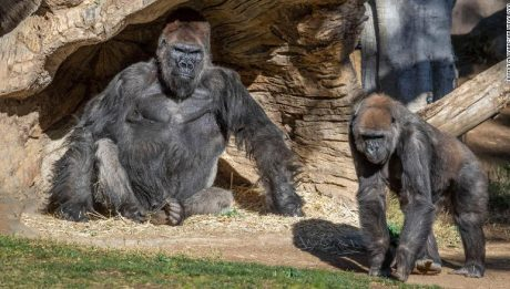 Two gorillas at San Diego Zoo tested positive for Covid-19