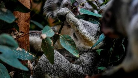 Aussie researchers to test koala 'facial recognition'